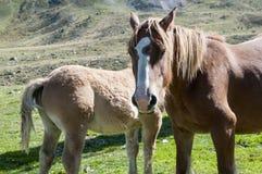 与她的母亲的小的母马 免版税库存图片