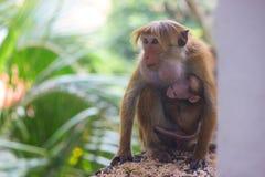 与她的母亲的逗人喜爱的小猴子 库存照片