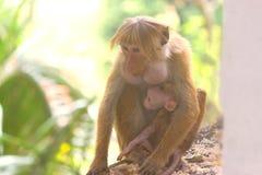 与她的母亲的逗人喜爱的小猴子 库存图片