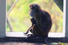 与她的母亲的逗人喜爱的小猴子 免版税库存照片