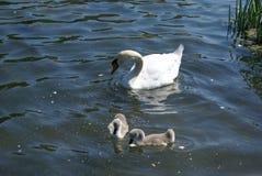 与她的游泳在湖的小天鹅的一只白色天鹅 库存图片