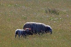与她的羊羔的一只成人绵羊 免版税库存图片