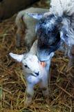 与她的羊羔的一只母亲绵羊 库存图片