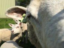 与她的羊羔的母亲绵羊 免版税库存图片