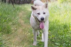 与她的舌头的滑稽的逗人喜爱的狗日本人秋田inu在自然在土气背景的夏天 库存照片