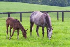 与她的马驹的母马在马牧场地种田 免版税图库摄影