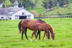 与她的马驹的母马在马牧场地种田 免版税库存图片