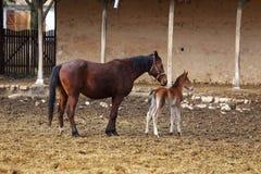 与她的驹的一匹母马 免版税图库摄影