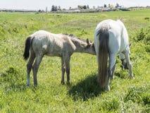 与她的驹的母马在领域 免版税库存图片