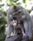 与她的婴儿的短尾猿在猴子森林里, Ubud 免版税库存图片
