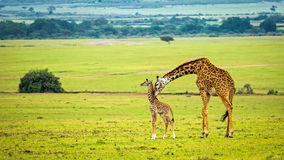 与她的婴孩的一头母亲长颈鹿 免版税图库摄影