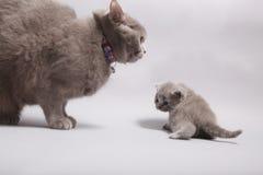 与她的婴孩的母亲猫 库存图片