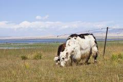 与她年轻吃草的一头牦牛在青海湖附近 免版税图库摄影