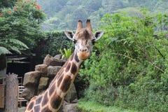 与好奇神色的一头长颈鹿在Taman徒步旅行队,茂物,印度尼西亚 库存图片