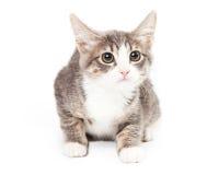 与好奇表示的灰色和白色小猫 免版税图库摄影