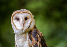 与好奇面孔的谷仓猫头鹰 免版税图库摄影