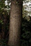 与好的吠声的树 图库摄影