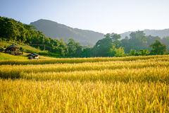 与好的山的金黄米领域 免版税图库摄影