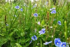 与好的矮小的蓝色花的惊人的绿色领域在宏观射击 库存图片