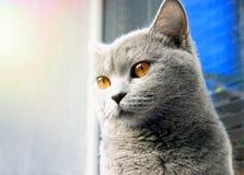 与好的羊毛和大眼睛的英国猫 库存照片