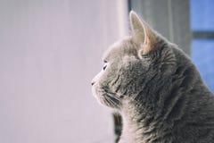 与好的羊毛的英国猫 库存图片