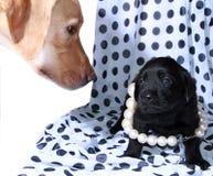 与妈咪的小狗labrodor 免版税库存图片