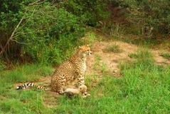 与妈妈的猎豹崽 免版税图库摄影