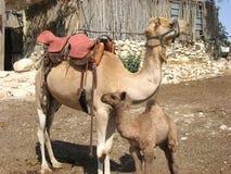 与妈妈骆驼的小骆驼 免版税图库摄影