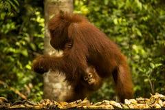 与婴孩的一只母猩猩 免版税库存图片