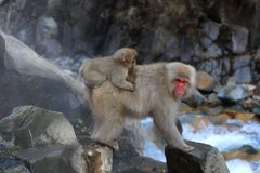 与婴孩的日本雪猴子 免版税库存照片