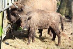 与婴孩的欧洲北美野牛 库存图片