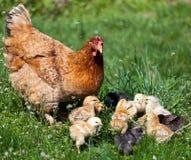 与婴孩的鸡 免版税库存图片