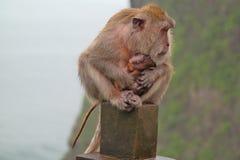 与婴孩-巴厘岛印度尼西亚的猴子 库存图片
