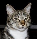 与嫉妒和大长毛的耳朵的猫 免版税库存图片