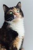 与嫉妒的三色猫在轻的背景 免版税库存图片