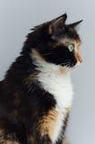 与嫉妒的三色猫在轻的背景 库存图片