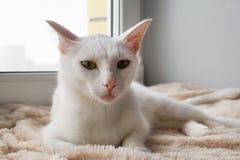 与嫉妒的可爱的白色猫在桃红色一揽子近对窗口调查照相机 库存图片
