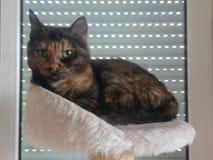 与嫉妒的布朗猫 免版税库存照片