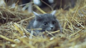 与嫉妒的殷勤,害怕灰色猫在干草,神色在往照相机 英国画象  影视素材