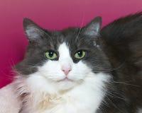 与嫉妒的灰色和白色猫,画象 免版税库存照片