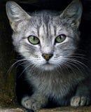 与嫉妒的灰色猫 免版税库存图片