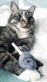 与嫉妒的灰色虎斑猫 他拿着在他的爪子的一只玩具老鼠 免版税库存照片