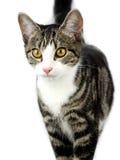 与嫉妒的猫在被隔绝的白色背景 免版税库存照片
