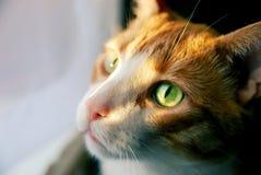 与嫉妒的红色猫在阳光 免版税库存图片