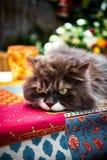 与嫉妒的美丽的perser猫在一张五颜六色的桌上的庭院里 库存图片