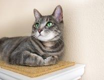 与嫉妒的逗人喜爱的灰色虎斑猫 免版税库存图片