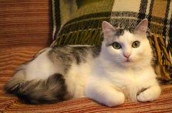 与嫉妒的逗人喜爱的白色和灰色猫 库存照片