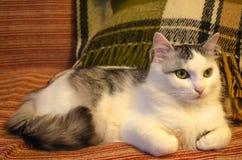 与嫉妒的逗人喜爱的白色和灰色猫 免版税库存照片