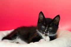 与嫉妒的黑白长的头发无尾礼服小猫 库存照片