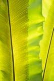 与孢子线的绿色叶状体 免版税库存图片